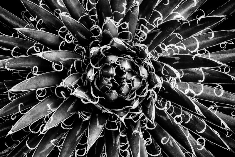 Sarah-Marino-BW-Stringy-Yucca-1200px.jpg