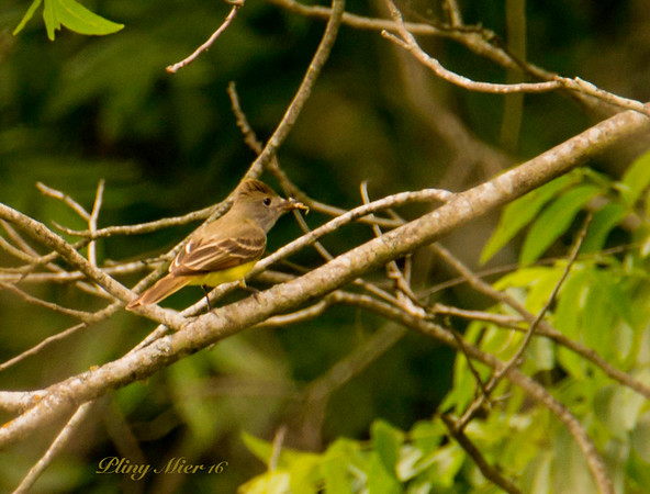 Great Crested Flycatcher_DWL2103.jpg