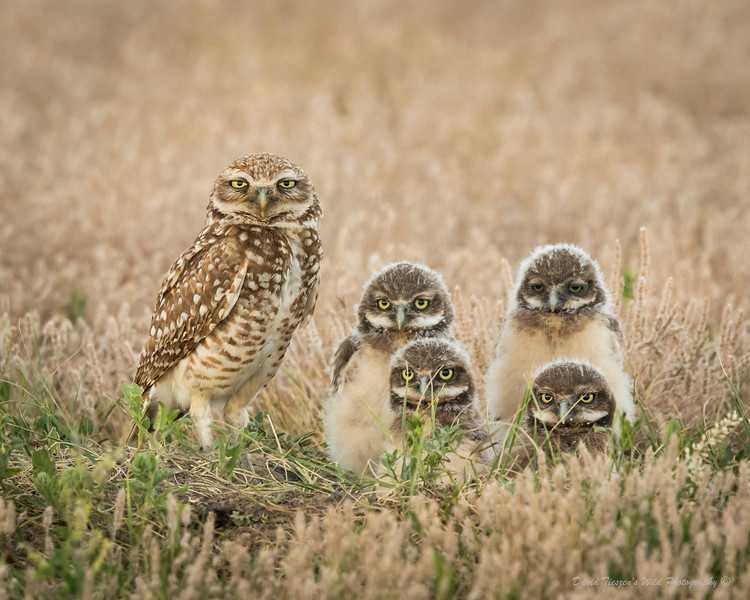 S_Burrowing Owl Family_GM1A1790.jpg