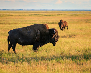 2020 Little Gem Bison Farm