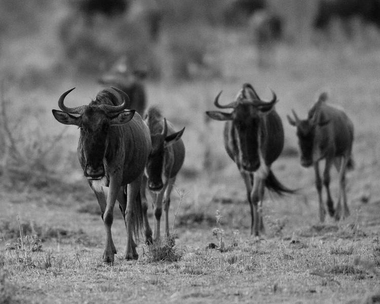 AF1T6441_wildebeest_bw.jpg