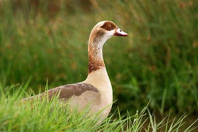 Ducks & Geese (Anatidae)