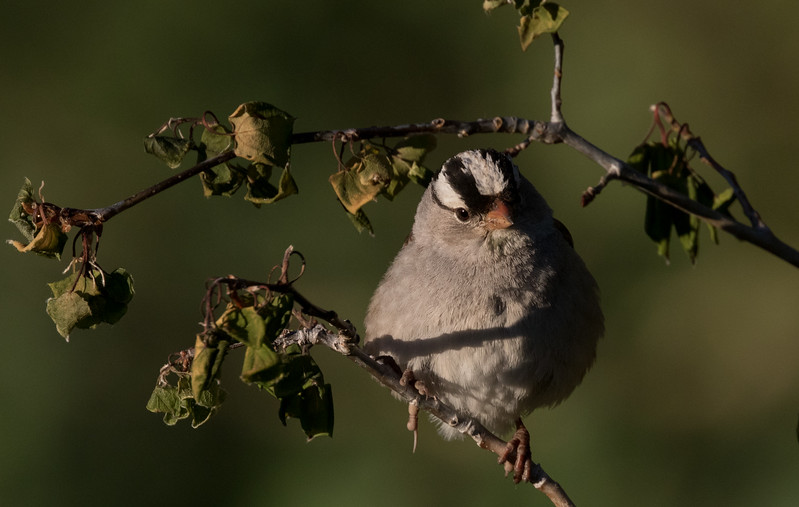 White-crowned Sparrow Oreantha Mammoth Lakes 2017 06 29-5.CR2-5.CR2
