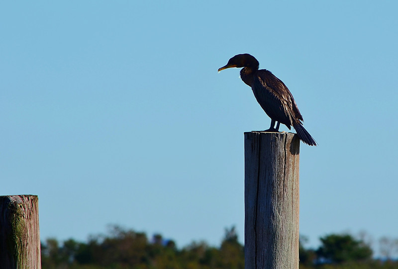 Cormorant 1.jpg
