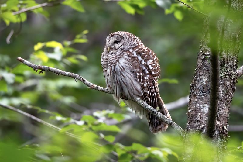 #1452 Barred Owl