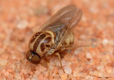 Mythicomyiidae (Psiloderoidinae)