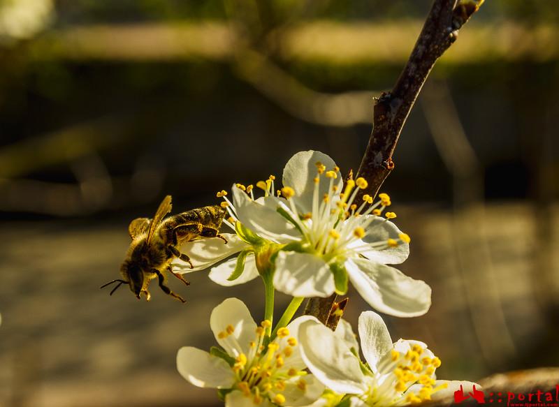 pčela (1 of 1).jpg