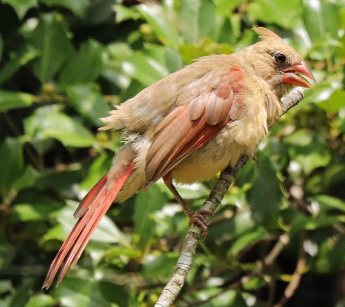 Cardinal 32
