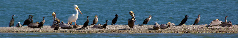 Several species together on a strand in Aransas Bay