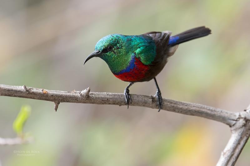 Neergard's Sunbird, Phinda PGR, KZN, SA, Oct 2016-3.jpg