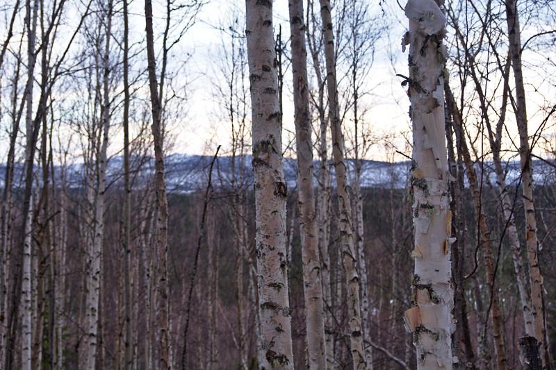 Birch Sunset