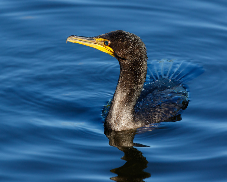 Cormorant-4559.jpg