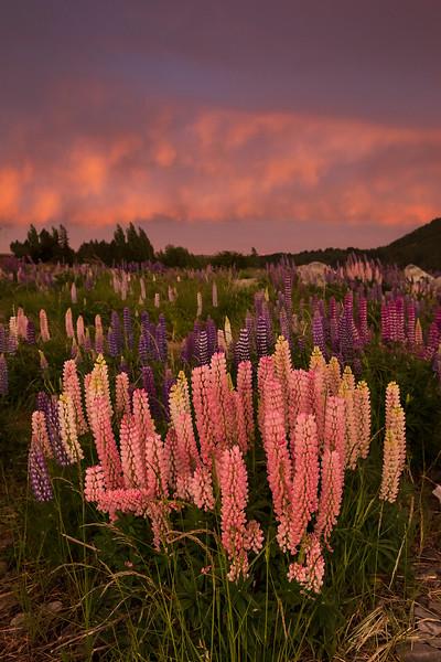 pink lupines Tekapo sunrise.jpg