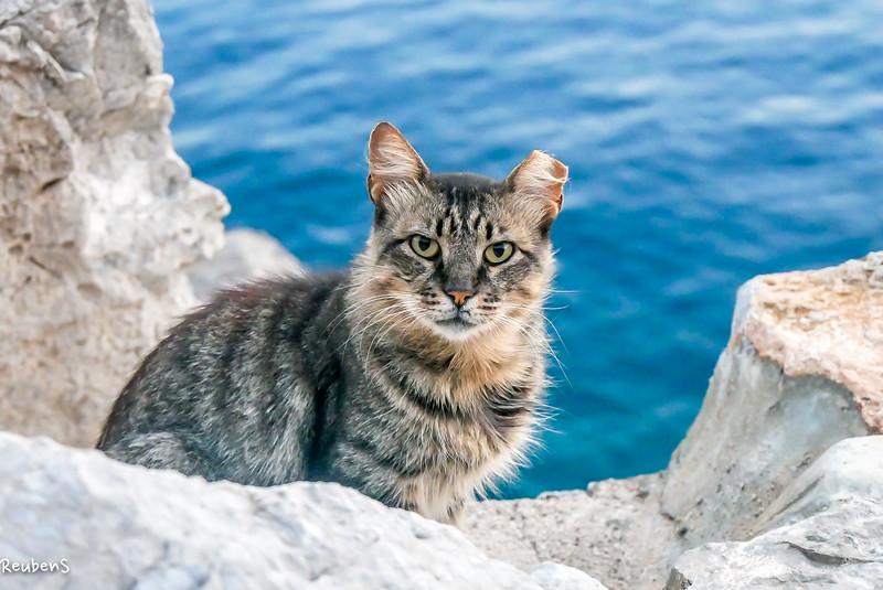 Grey Cat sea Hydra.jpg