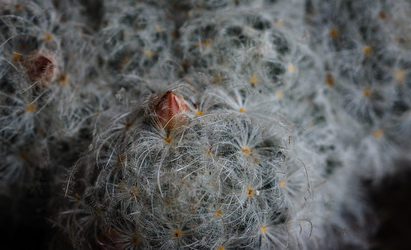 mammillaria plumosa or feather Cactus-1175.jpg