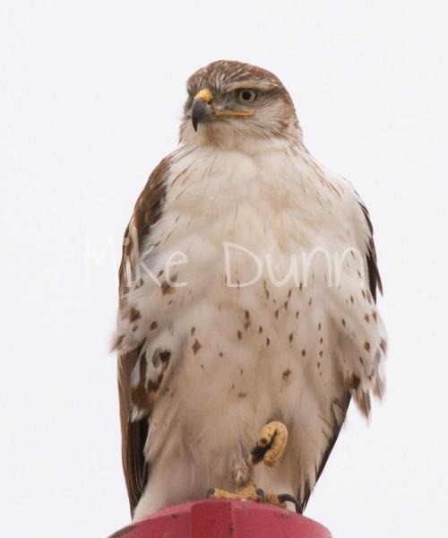 Ferruginous Hawk-34