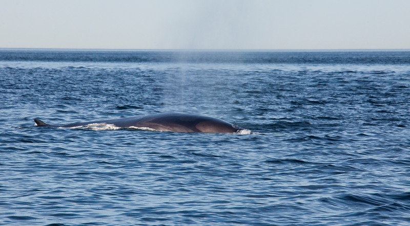 2011 quebec whale watching (53 of 80).jpg