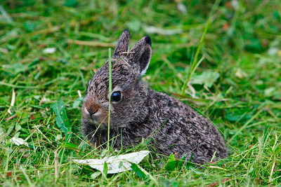 Mountain hare cub