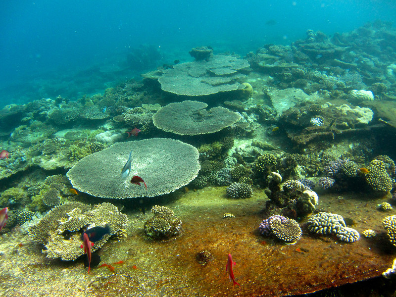 Table corals on the Kingston