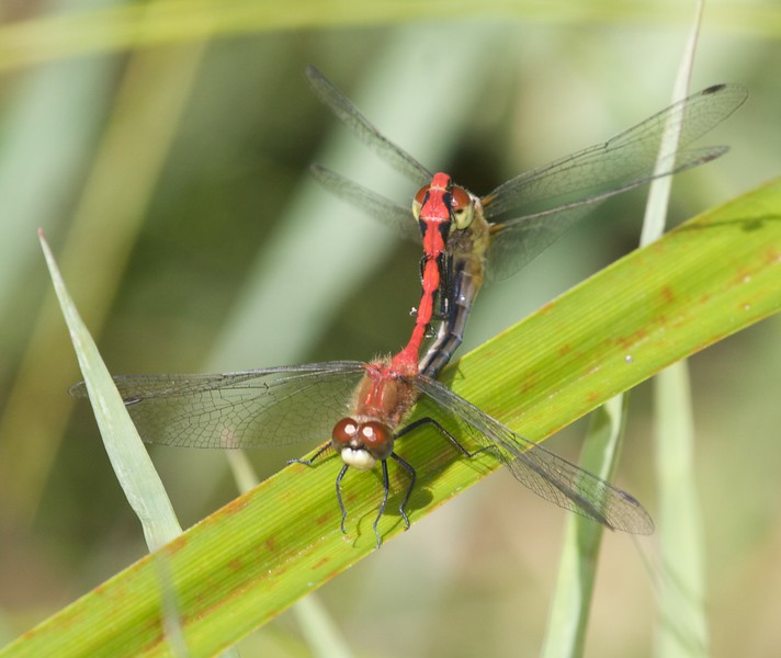 "A male and female White-faced Meadowhawk (Sympetrum obtrusum) in the mating position known as ""the wheel"" [August 26; Bog on Jay West Road, Carlton County, Minnesota]"