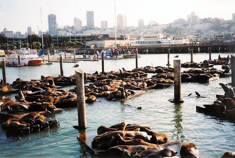 Sea Lions off Pier 39