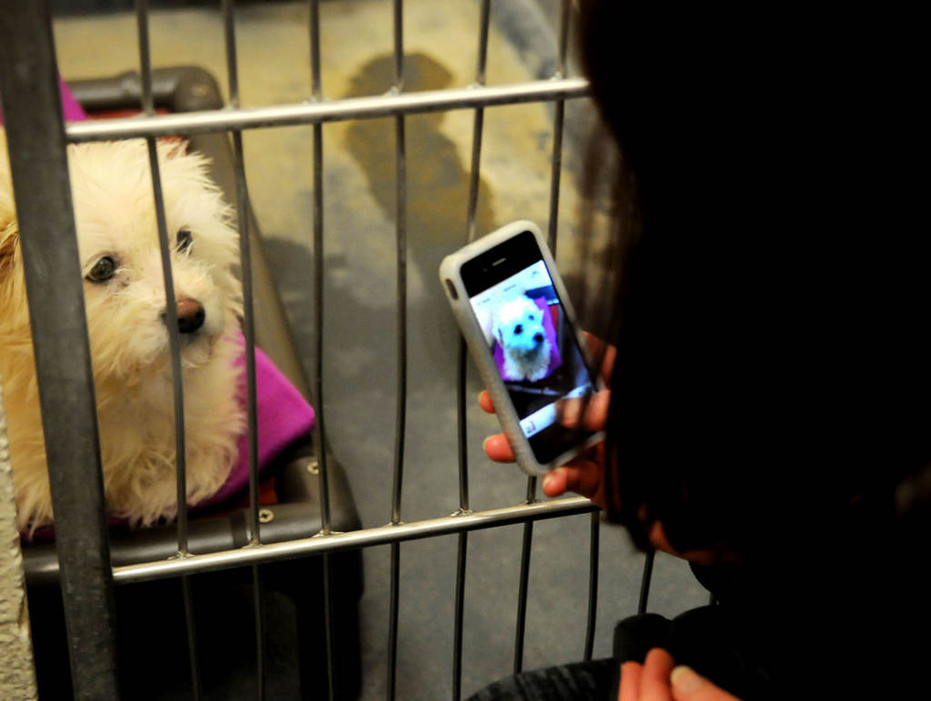 . Tara Harris takes a cell phone picture to help get this Maltese mix stray dog adopted while on a visit to the City of Indianapolis Animal Care and Control in Indianapolis. (Pioneer Press: Sherri LaRose-Chiglo)