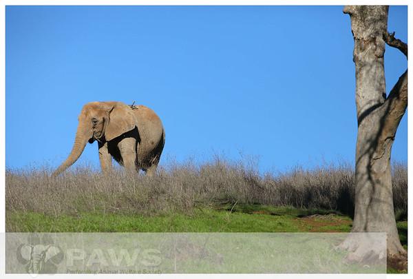 Ruby African Elephant