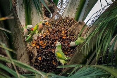 Parrots, Corollas, Parakeets