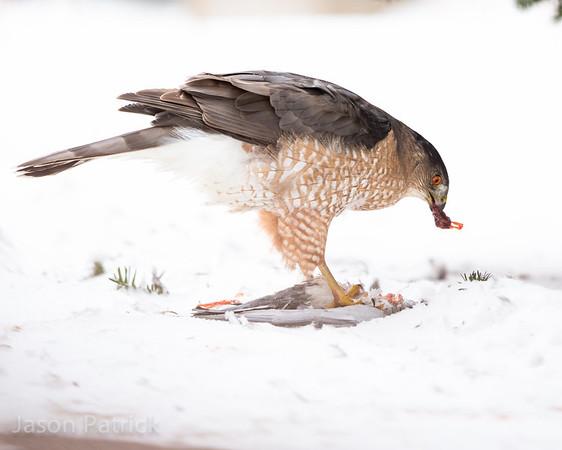 Cooper's hawk gets a pigeon