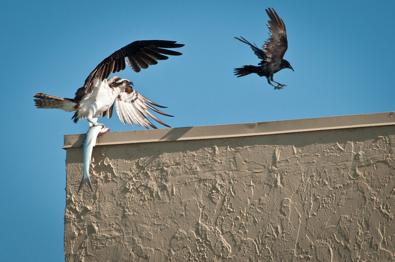 Osprey and Fish Crow