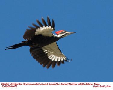 Pileated WoodpeckerF10079.jpg