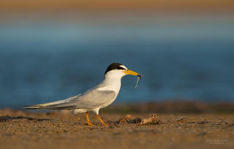 Little Tern, Lake Woolumbulla, NSW, Aus, Jan 2013-7.jpg
