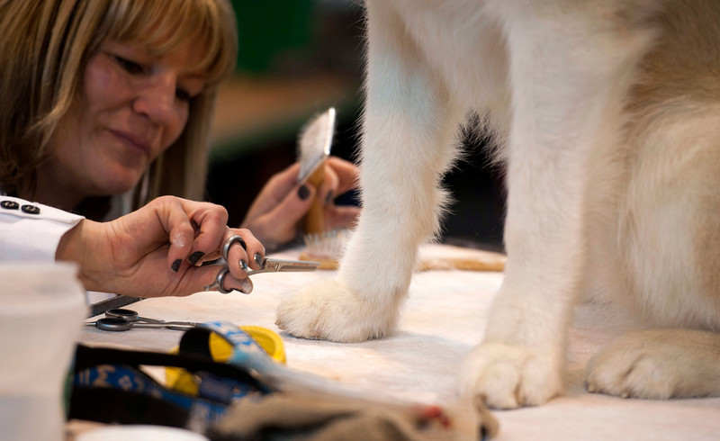 . A woman grooms a Alaskan Malamute dog at the Crufts Dog Show 2014 at the National Exhibition Centre in Birmingham, Britain, 06 March 2014. This year, Crufts will be held from 06 to 09 March with over 2,650 dogs from 48 different countries competing with 185 different breeds expected to compete in different categories.  (EPA/WILL OLIVER)