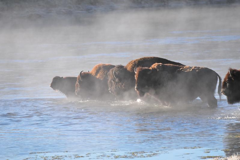 Buffalo, Yellowstone National Park.  Hayden Valley and Yellowstone River.