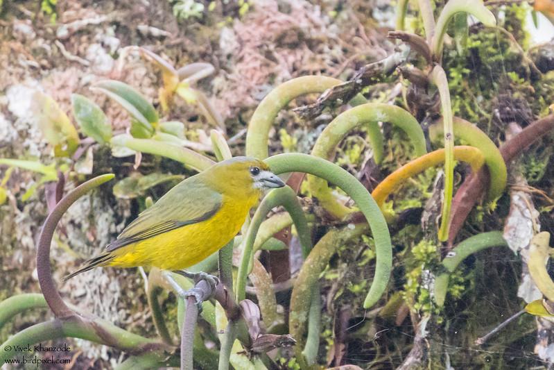 Golden-bellied Euphonia - Amazon, Ecuador