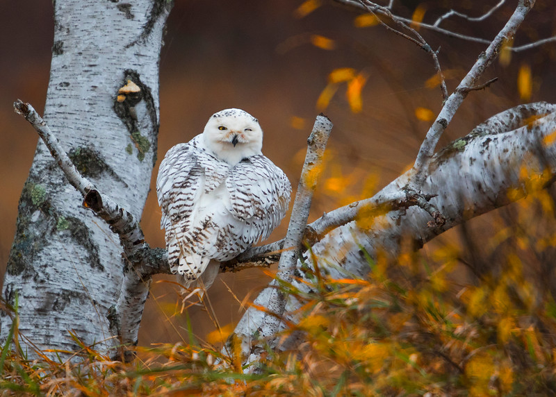 smug owl 23.jpg