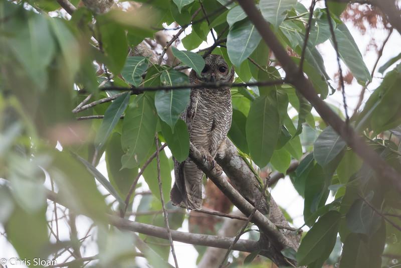 Mottled Wood-Owl, Thattekad, Kerala, India (03-03-2015) 068-7.jpg