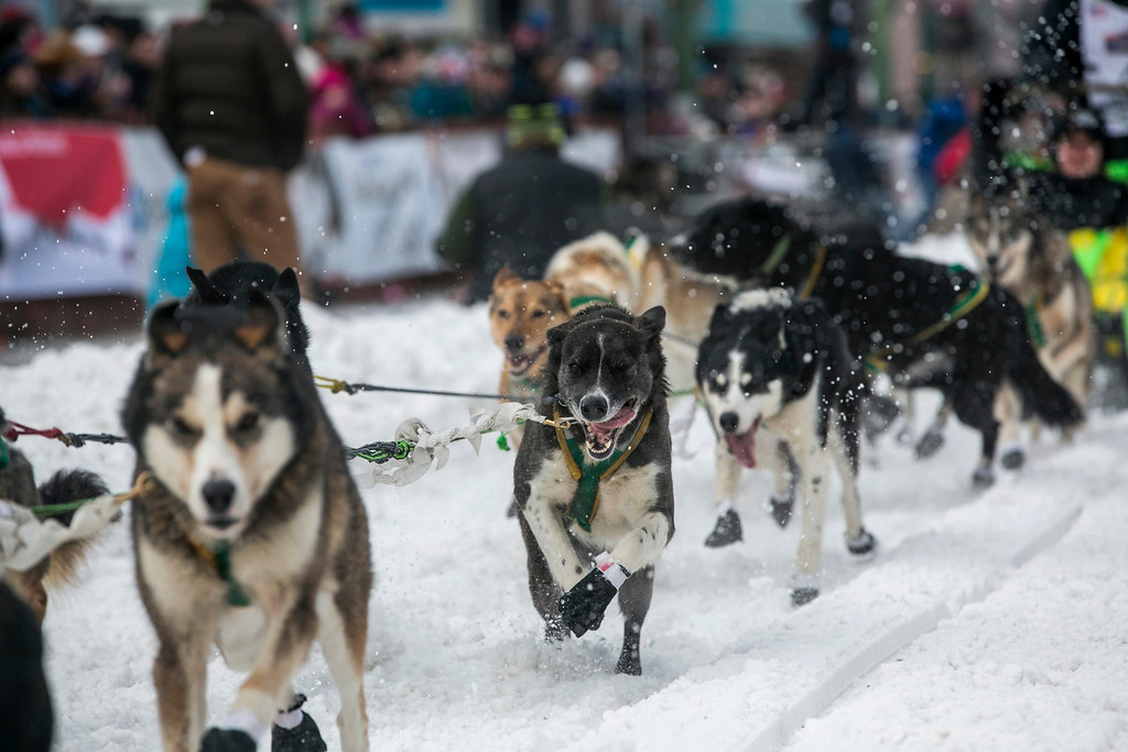 . The dogs of Brazilian musher Luan Ramos Marques charge out of the start gate on 4th Avenue during the ceremonial start to the Iditarod dog sled race in downtown Anchorage, Alaska March 2, 2013.   REUTERS/Nathaniel Wilder