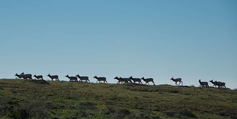 A little too far away for a meaningful shot. But the tule elk are are a significant part of this National Seashore.
