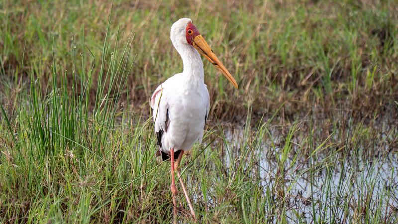 Tanzania-Serengeti-National-Park-Safari-Yellow-Billed-Stork-01.jpg
