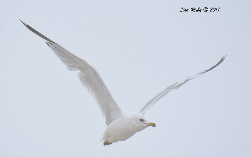 Ring-billed Gull - 8/27/2017 - Imperial Beach, walk to river mouth