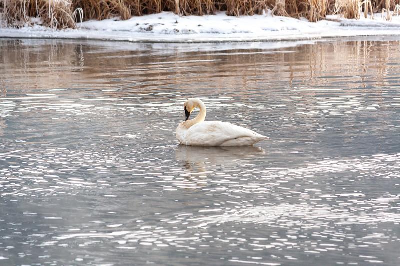 Singular Swan