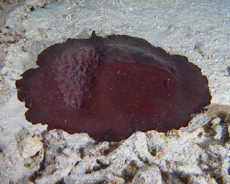 Liver colored nudibranch