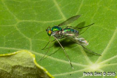 Blue-green Long Legged Fly