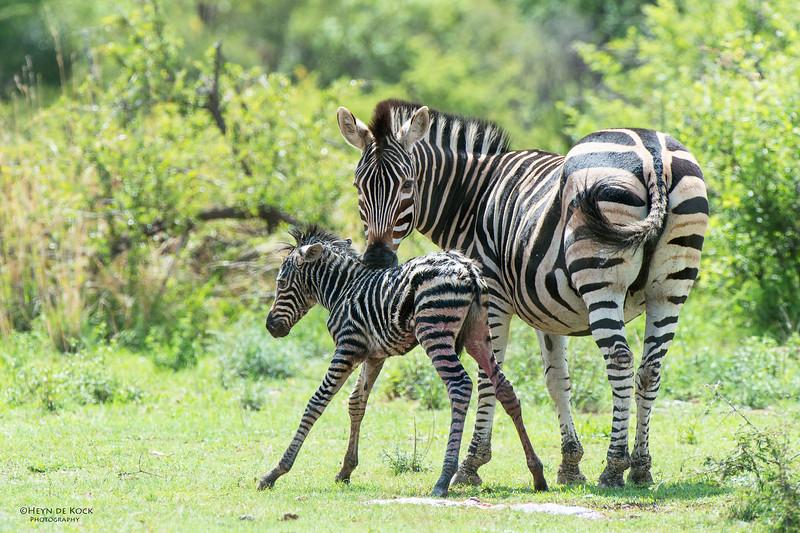 Plains Zebra & foal, Pilansberg National Park, SA, Dec 2013-2.jpg