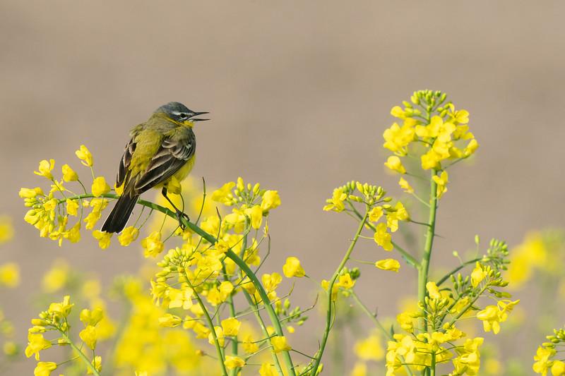 pliszka żółta | western yellow wagtail | motacilla flava