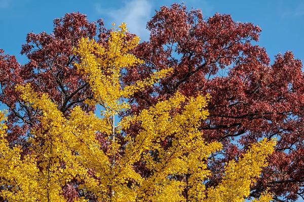 Ginkgo trees in fall