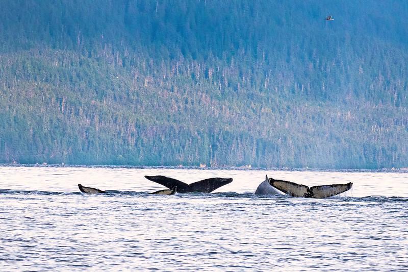 Whale flukes three_Juneau Alaska_664A7105.jpg