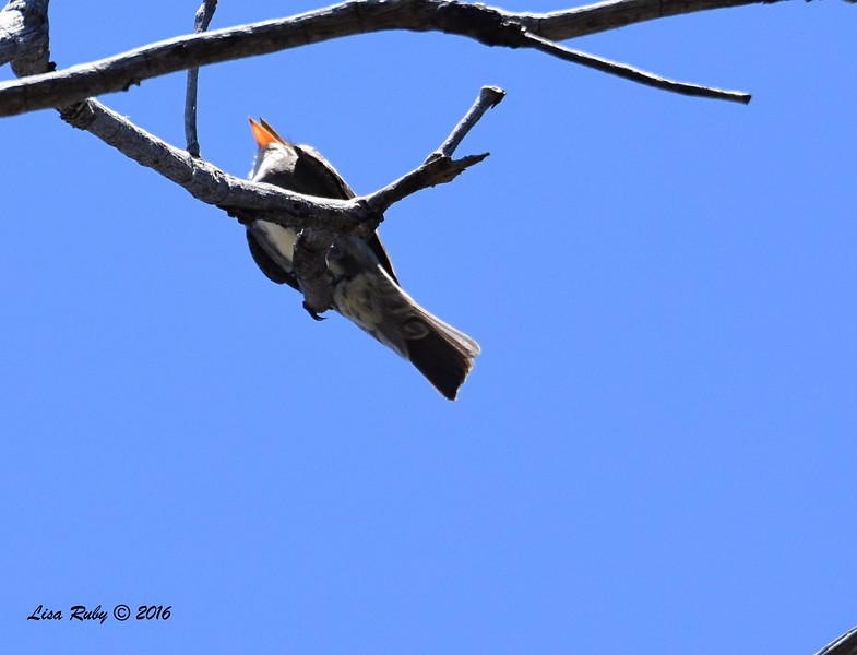 Olive-sided Flycatcher number 1 - 6/4/2016 - Laguna Meadows