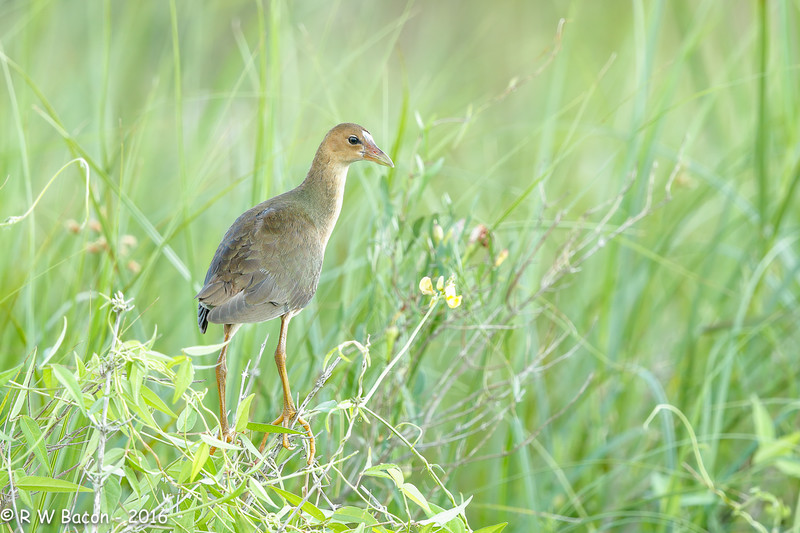 Young Purple Gallinule.jpg